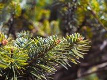 Himalayan green tree closeup. Pine like tree found in himalayan treks royalty free stock image