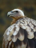 Himalayan Griffon Vulture Royalty Free Stock Photography