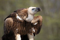 Himalayan griffon vulture royalty free stock photo