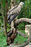 Himalayan Griffon Vulture and Cinereous Vulture Stock Photography