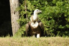 HIMALAYAN GRIFFON VULTURE Stock Images