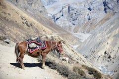 Himalayan häst i Nepal, med en höjd av över 4000 meter Arkivfoton