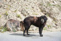 Himalayan herding dog. From Lahoul Valley leads goat and sheep flock royalty free stock image