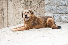 Himalayan herding dog relaxing at Leh city street Royalty Free Stock Photography