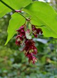 Himalayan Honeysuckle Flower with Big Green Leaves stock photo