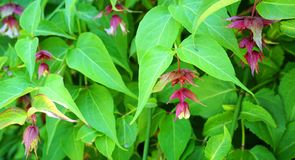 Himalayan honeysuckle showy and bright flowers and  green foliage. Other names Leycesteria formosa, Flowering nutmeg, Himalaya nut. Meg or Pheasant berry. Native royalty free stock photos