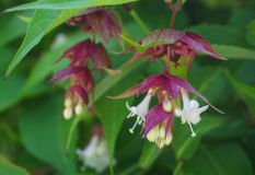 Himalayan honeysuckle showy and bright flowers and  green foliage. Other names Leycesteria formosa, Flowering nutmeg, Himalaya nut. Meg or Pheasant berry. Native stock photo