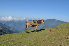 Himalayan horse. Royalty Free Stock Photography