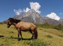 Himalayan horse Royalty Free Stock Image