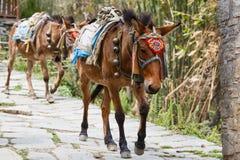 Himalayan horse caravan Stock Photography