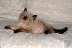 himalayan IV γατάκι Στοκ φωτογραφία με δικαίωμα ελεύθερης χρήσης