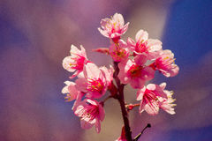 Himalayan körsbärsröd blomning Arkivbild