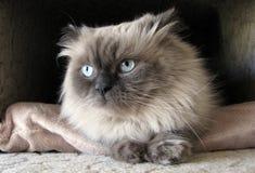himalayan katt Fotografering för Bildbyråer