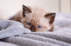 Himalayan kattunge som playfully huka sig ned på handduken, blåa ögon Royaltyfri Bild
