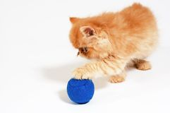 Himalayan kitten 1 Stock Images