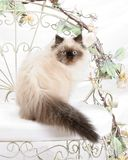 Himalayan Kitten. Looks over her shoulder while sitting on a white Iron chair Royalty Free Stock Photography