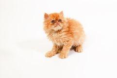 Himalayan kitten Stock Photography