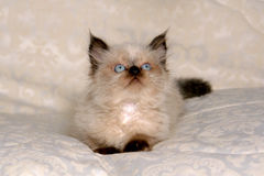 Himalayan Kitten II Stock Photography