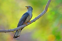 Himalayan knäpp fågel arkivfoto