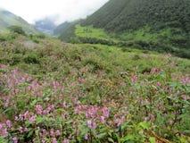 Himalayan Knotweed στην κοιλάδα των λουλουδιών στοκ εικόνες