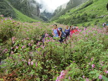 Himalayan Knotweed i dalen av blommor royaltyfri foto