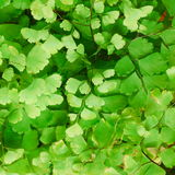 Himalayan maidenhair Stock Photo