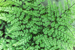Himalayan Maidenhair Fern Royalty Free Stock Images