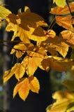 Himalayan Maple - Acer sterculiaceum Stock Images