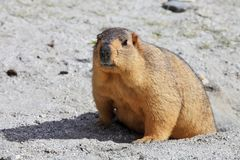 Himalayan marmot Stock Photos