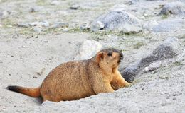 Himalayan marmot Royalty Free Stock Images