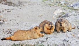 Himalayan marmot Arkivfoton
