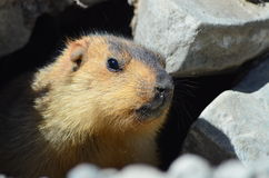 Himalayan marmot closeup Royalty Free Stock Images