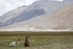 The Himalayan marmot Stock Image