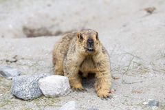 Himalayan marmot Royalty Free Stock Photos