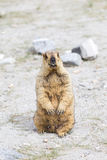 Himalayan marmot Royalty Free Stock Photo