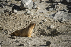 Himalayan Marmot at Pangong Lake Ladakh .India Stock Images