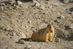 Himalayan Marmot at Pangong Lake Ladakh .India - September 2014. The Himalayan marmot (Marmota himalayana) is a marmot found in alpine grasslands throughout the royalty free stock photo