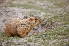 Himalayan marmot Royalty Free Stock Photo