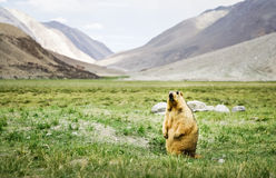 Himalayan marmot standing in grass. Yellow Himalayan marmot standing in a valley  with green grass and a range of mountains in the background Royalty Free Stock Images