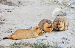 Himalayan marmots Royalty Free Stock Photography