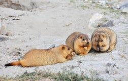 Himalayan marmots Royaltyfri Fotografi