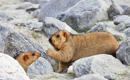 Himalayan marmots. Family of Himalayan marmots - live on the high altitude plateaus Royalty Free Stock Image