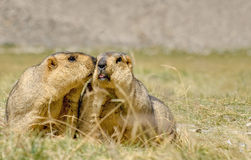 Himalayan marmots pair kissing in open grassland, Ladakh, India. Himalayan marmots (Marmota himalayana), pair kissing in open field , ladakh wildlife, Jammu and Royalty Free Stock Photography