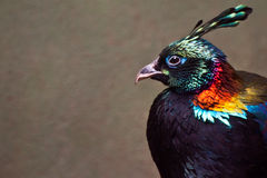 Himalayan Monal. A close up of a Himalayan Monal Stock Photography