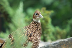 Himalayan monal Stock Photo