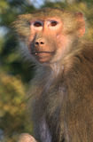 Himalayan monkey Stock Photography
