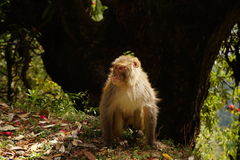 Himalayan monkey on the edge of the mountain. Stock Photo