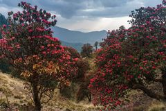 The Himalayan Mountains, Nepal. Flowering rhododendrons. royalty free stock images