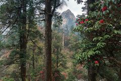 The Himalayan Mountains, Nepal. Flowering rhododendrons. royalty free stock photos