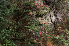 The Himalayan Mountains, Nepal. Flowering rhododendrons. royalty free stock image